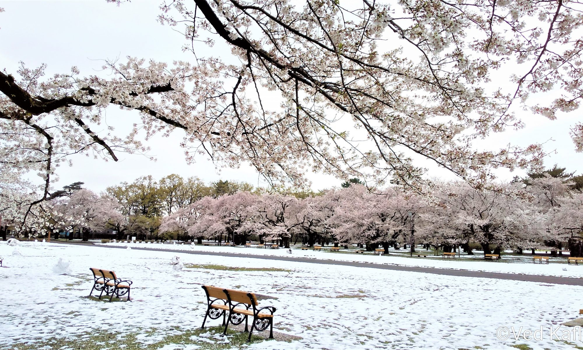 Cherry blossoms on trees, snow on ground